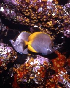08_adj crp_cunningfish Chaetodon sanctaehelenae_Ascension