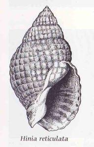 Hinia reticulata_LR_Sussex Marine Life