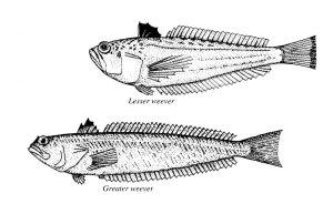 Weaver fish