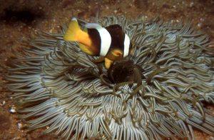 Clownfish, Mada Galla, Sri Lanka_1996_LR