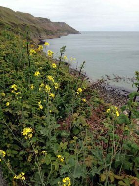 Lundy cabbage_April 2015_1275_1024