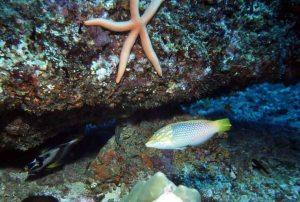 Wrasse & Linkia starfish, Mada Galla, Sri Lanka_1996_LR