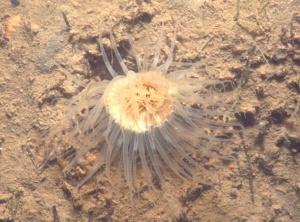 D3.14_Milford H 2003_Sagartiid anemone_crp