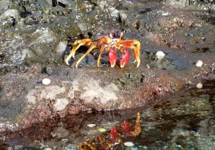 Sally Lightfoot crab admiring its reflection in a rockpool.