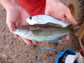 Two fish species (whitefish & wrasse) caught by handline from the rocks.